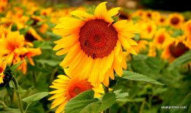 Sunflower field in South of France (9)