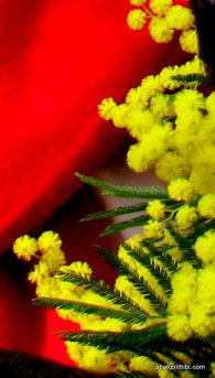 Mimosa Flower, Nice, France (5)