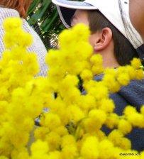 Mimosa Flower, Nice, France (8)