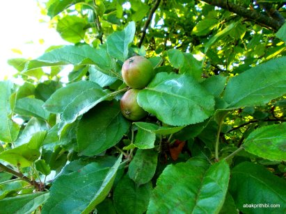 Apple Tree (1)
