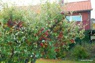 Apple Tree (3)