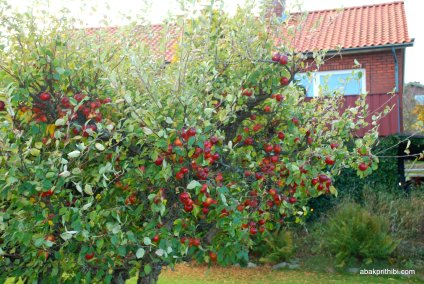 Apple Tree (3)