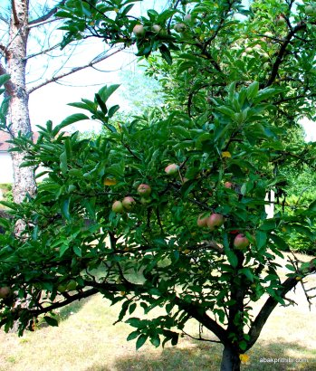Apple Tree (4)