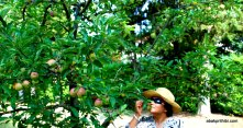 Apple Tree (5)