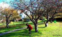 Apple Tree (7)