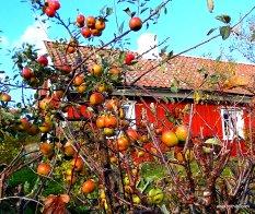 Apple Tree (8)