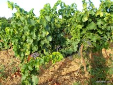 Viticulture in France (1)