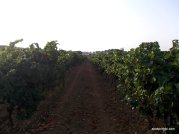 Viticulture in France (4)