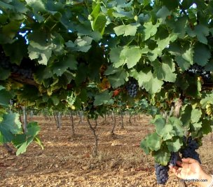 Viticulture in France (5)