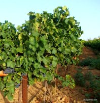Viticulture in France (7)