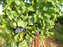 Viticulture in France (8)