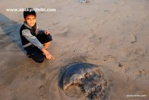 A dead Jellyfish near beach, Diu , India (11)