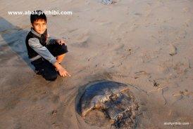 A dead Jellyfish near beach, Diu , India (11)