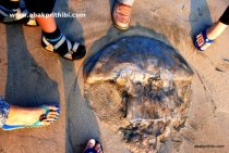 A dead Jellyfish near beach, Diu , India (12)