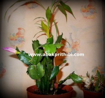 Christmas cactus (1)