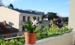 Christmas cactus (2)