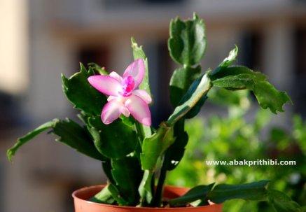 Christmas cactus (3)