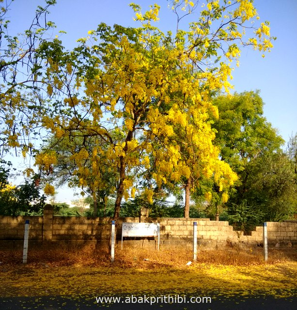 Golden shower tree (1)